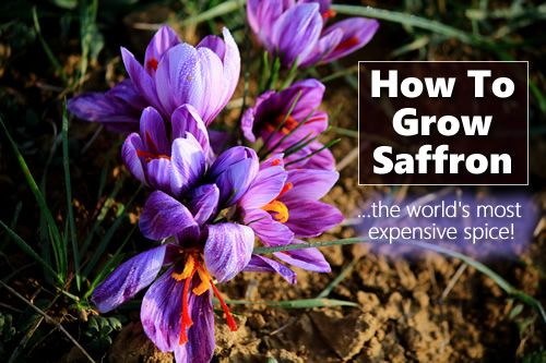 How To Grow Saffron - grow the world's most expenisive spice (up to $849 per ounce) in your home garden... #gardening #homesteading