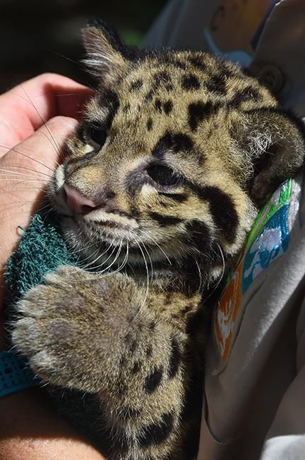 Clouded Leopard Cubs Pass Their Check-Ups