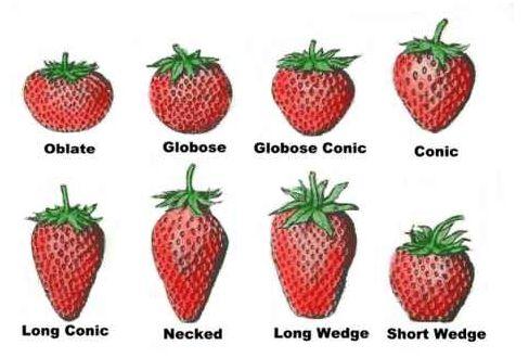 How to grow strawberries http://www.fieldtofridge.co.nz