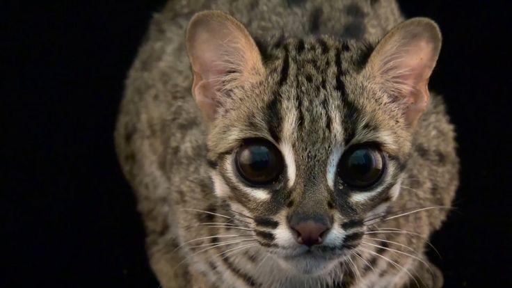 A Palawan leopard cat http://ift.tt/2jYCUcB