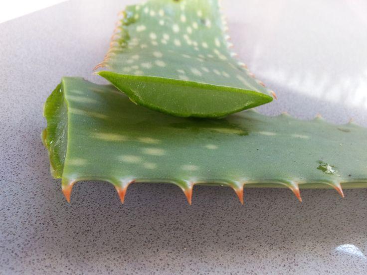 Aloe vera se používá už po staletí především pro její léčebné účinky na náš organismus. Již Egypťané ji nazývali rostlinou nesmrtelnosti. Aloe obsahuje více než 200 biologicky aktivních látek. Patří mezi ně vitamíny, aminokyseliny, enzymy, minerální látky a polysacharidy, které stimulují vstřebávání živin. Elixír života jménem aloe Studie ukázaly, že aloe vera má antivirové, antibakteriální …