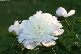 Korkeat jalopionit on tuettava ajoissa tukikeppien ja langan avulla.Kukkavarret leikataan pois heti kukkien kuihduttua.Kaikki varret katkaistaan syksyllä,jotta taudit eivät siirtyisi.Jos jalopioni ei kuki,tarkista,ettei juurenniskan päällä ole 3 senttiä enempää multaa.Pionit kukkivat parhaiten kalkkipitoisessa,ravinteikkaassa maassa.Kukinnasta voi nauttia toukokuusta heinäkuun loppuun valitsemalla eri aikaan kukkivia lajikkeita.Kukkiminen pitenee,kun sen kastelee kuivana kautena silloin…
