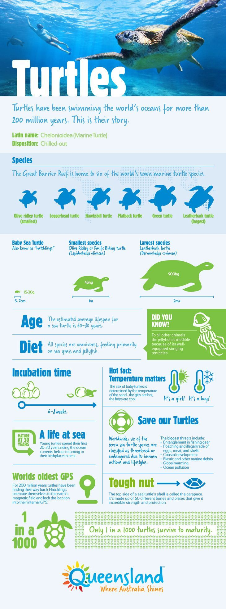 Turtles have been swimming the world's oceans for more than 200 million years. This is their story.  #infographic #thisisqueensland