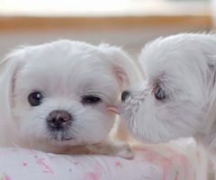puppy love.Dogs, Little Puppies, Maltese Puppies, I Love You, Sweets Kisses, A Kisses, Puppies Love, Malt Puppies, Animal