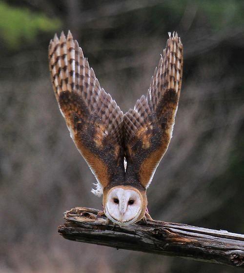 Pequeño buho pero con grandes alas