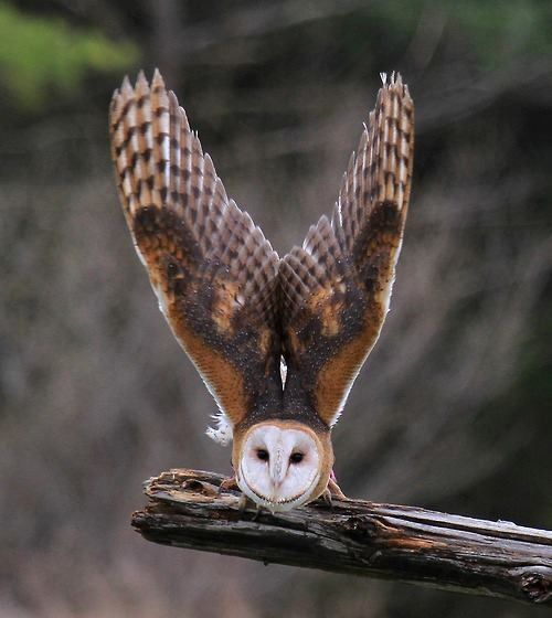 Tyto alba, or the Barn owl. These awesome birds are found on every continent.