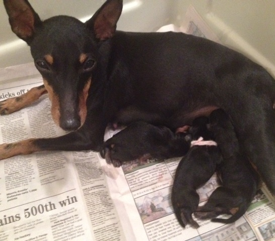 Newborn Toy Manchester Terrier puppies. Two girls and a boy