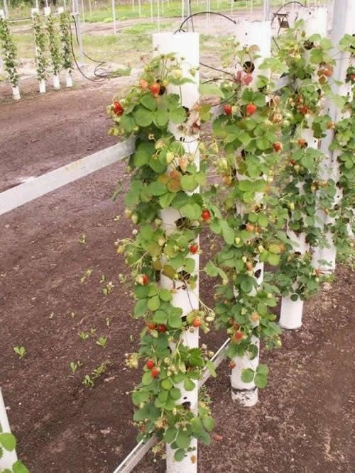 Growing strawberries vertically...great idea and so much more pleasing to the eye than all over the grounds lol