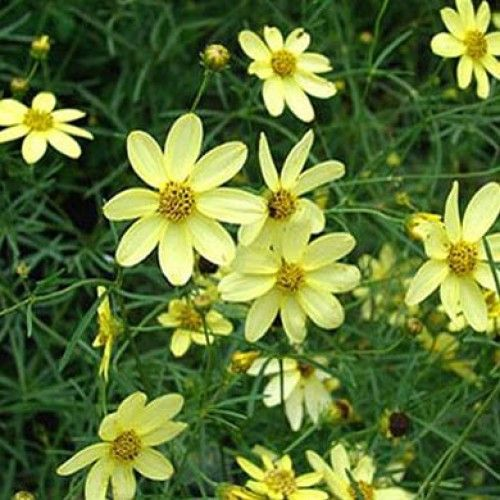5: Coreopsis Moonbeam