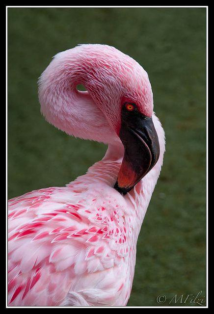 Greater Flamingo   Greater Flamingo at Disney's Animal Kingdom   Flickr - Photo Sharing!