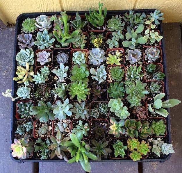 25 best ideas about succulents for sale on pinterest. Black Bedroom Furniture Sets. Home Design Ideas