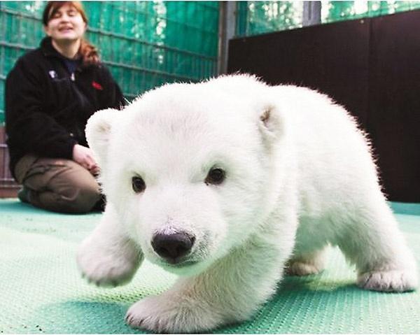 polar bear cub: Babies, Babypolar, Polarbear, Baby Animal, Things, Baby Polar Bears, Baby Bears, Polar Bears Cubs, Adorable Animal