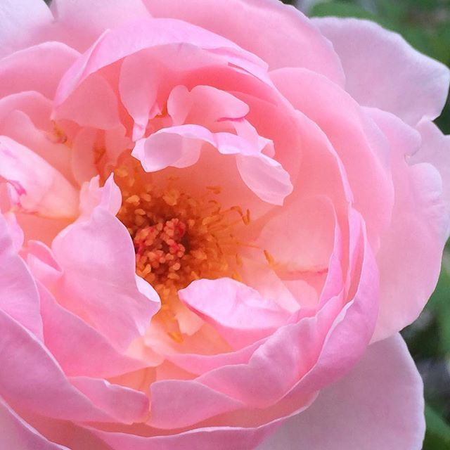 咲いて散って 短いようで 人も同じだよなぁ… てなこと思う  せめて花に負けぬよう  #花 #flowers  #薔薇 #もと #もとl fukudamotoko 2016/08/21 20:46:34