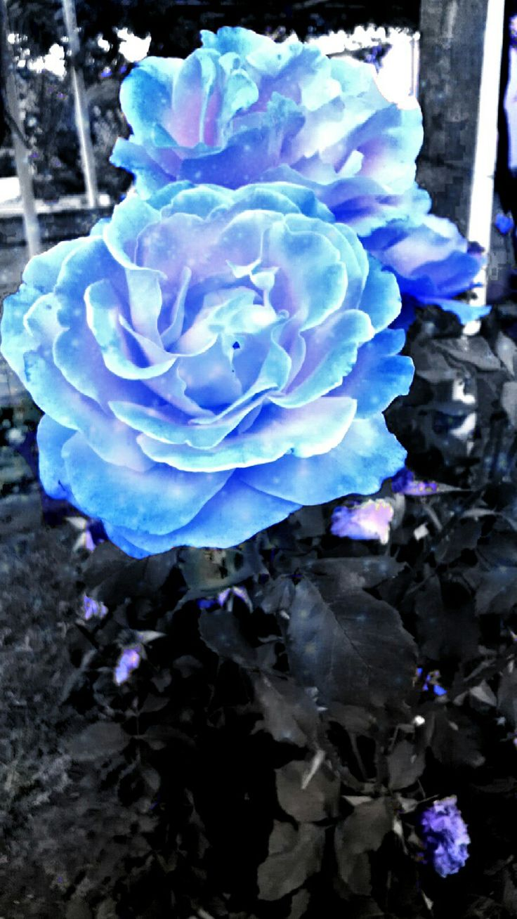 Photoshoped roses with the help of PhotoDirector (app)