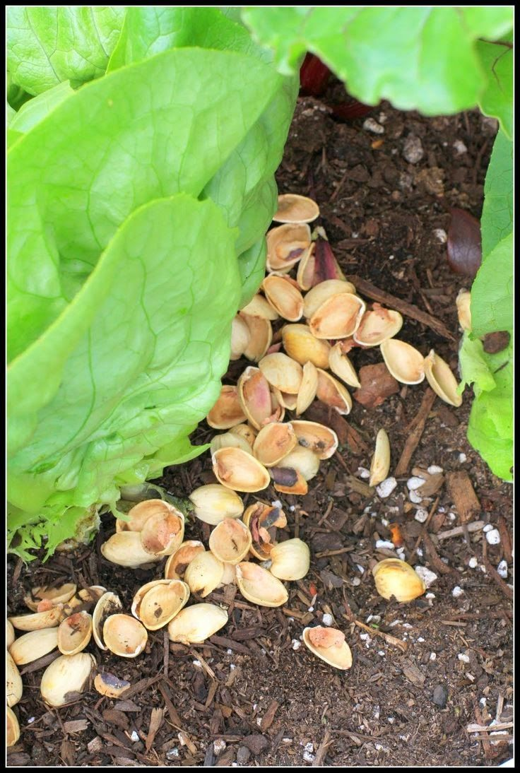 Desperate Gardener: Natural Slug Control. Wow, I had no idea! We eat a TON of pistachios... going to start saving the shells now!