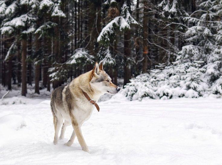 There's something about this winter that I'll truly miss...   #wolfdog #theweekoninstagram #nature_perfect #befree #wildandfree #visualfolk #visualsoflife #stayandwander #wekeepmoments #love #livefolk #folkscenery #folkvibe #bestwoof #teamcanon #igmasters #moodynature #dogsofinstagram #nature_perfection #agameoftones #travelstoke #passionpassport #createcommune #trendingnow #createscenery #dogsthathike #ig_captures #adventurethatislife #nomadlife #wildlife_seekers