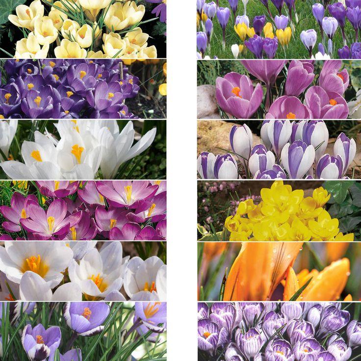 Crocus Bulbs Perennial Spring Flowering Bulbs Corms Garden Plants