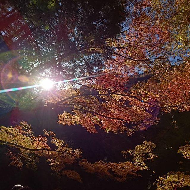 【pui_pui0216】さんのInstagramをピンしています。 《#紅葉 #もみじ #自然 #レンズフレア #森 #無加工 #スマフォト #xperia》
