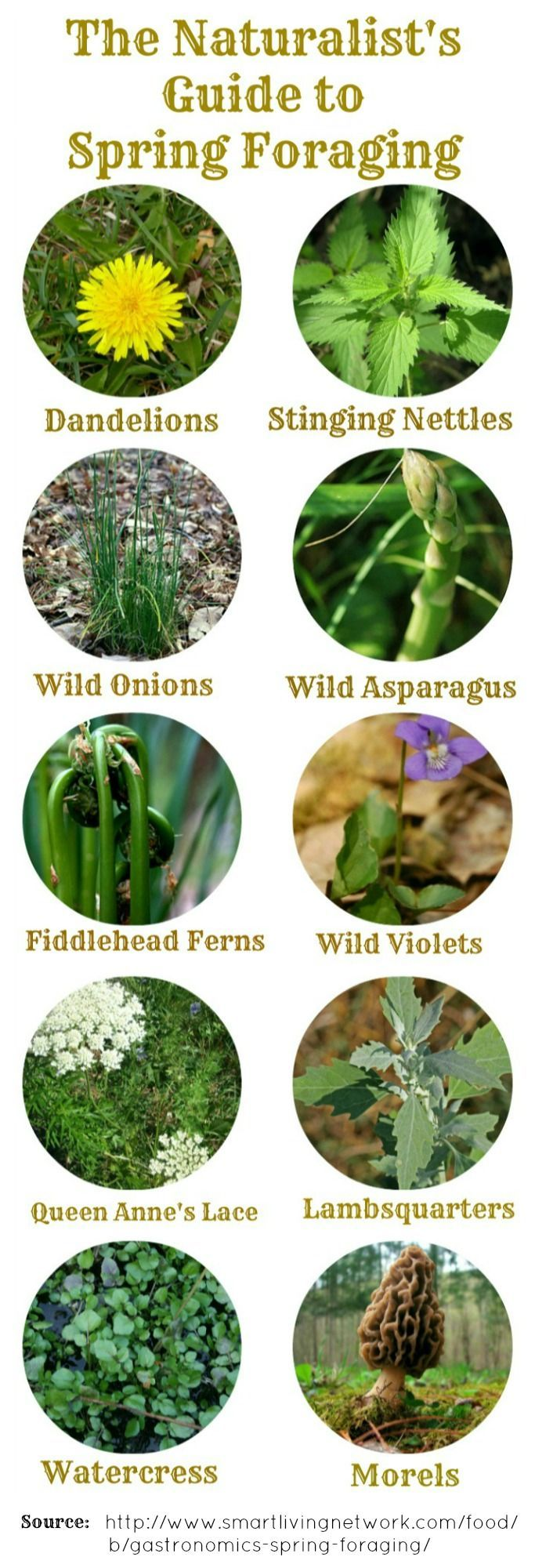 Common Wild Foods of Spring - Foraging Guide and Recipes | herbology, herbalism, healing plants, herbal medicine