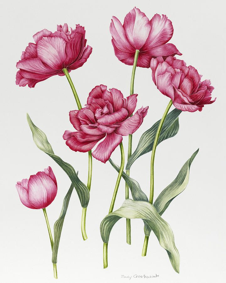 Pink Painting - Pink Peony Tulips by Sally Crosthwaite