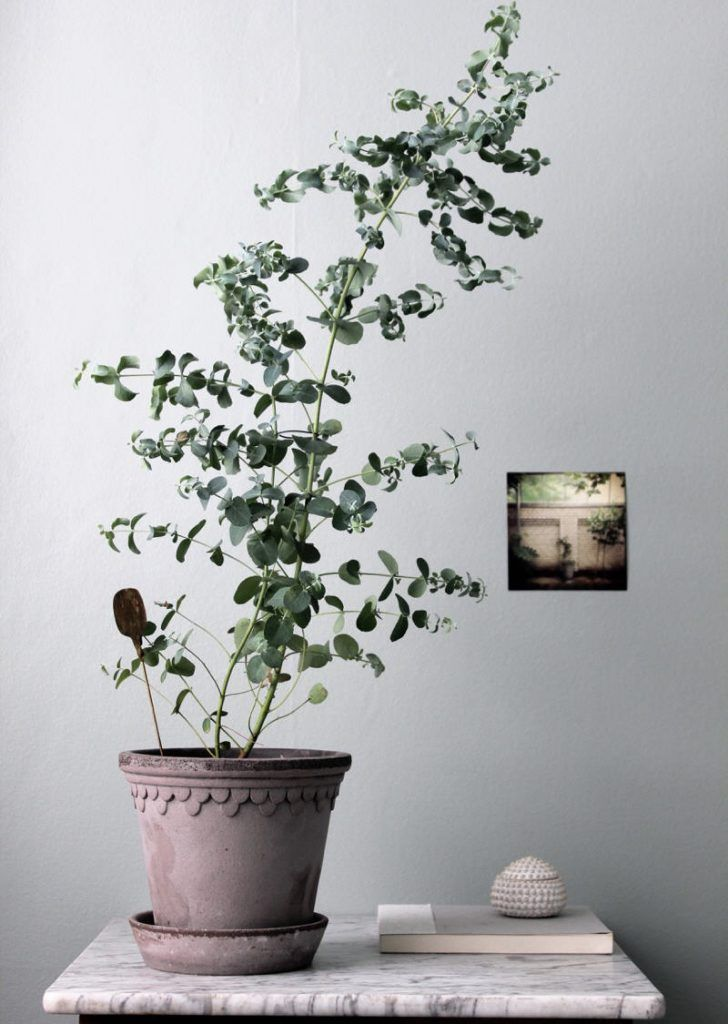 Eucalyptus Growing Indoors Plants Interior Plants Growing Indoors