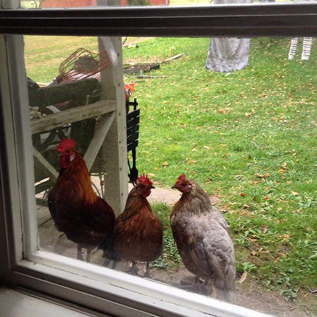 They always look through the windows or try to get through the door! 😆// Sie versuchen immer, durchs Fenster zu schauen oder ins Haus zu kommen! 😆 #freerangechickens #freilandhühner