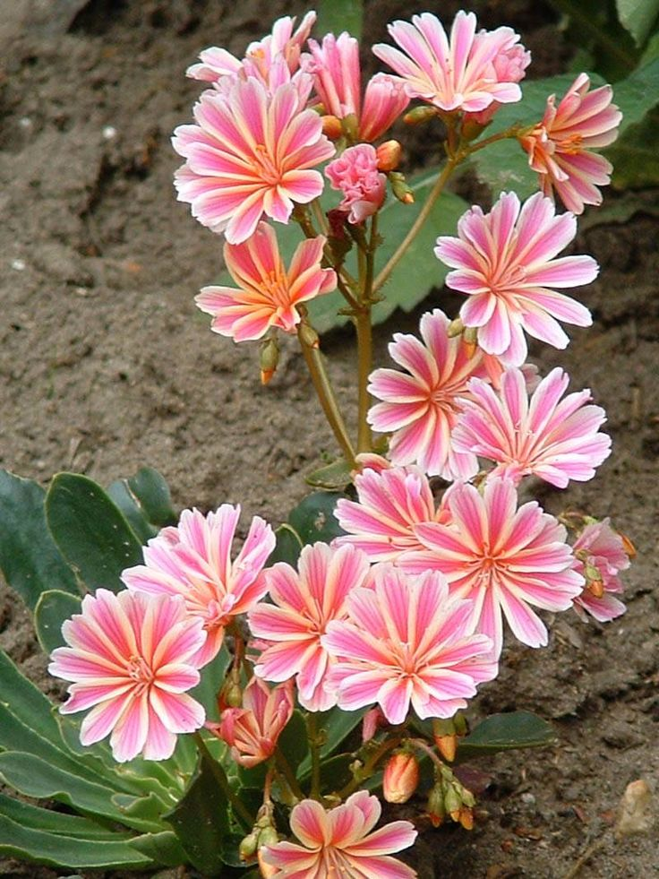 Lewisia cotyledon 'Regenbogen' (Bitterwurz) will grow in acidic soil