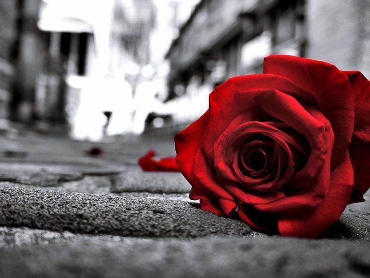 Red rose black & white background wide 4K HD wallpaper