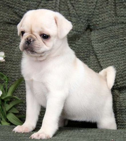MY ULTIMATE DREAM DOG! Cute white pug!