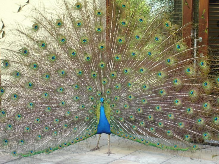 Spectacular peacock on my friend's patio...