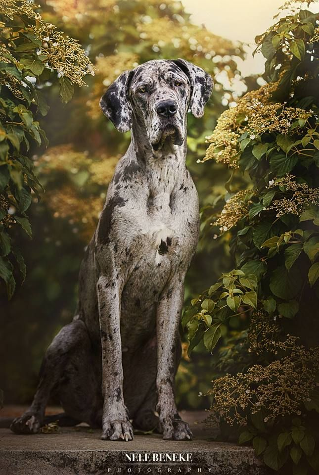 Great Dane Dog Danish Mastiff Great Dane Dogs Great Dane Dane Dog