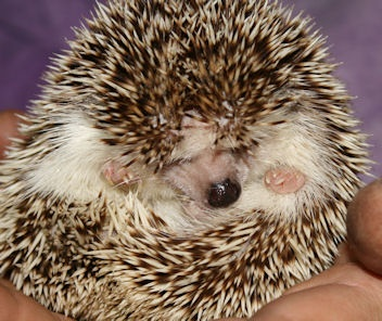 I want this hedgehog!!! This website has a lot of hedgehogs for sale!