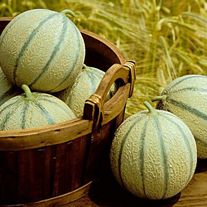 Charentais Melone Stellio