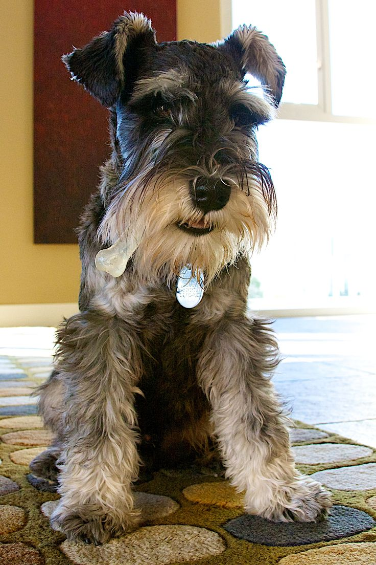 17 Best images about Schnauzer on Pinterest | Giant ...