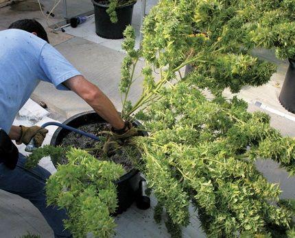 Les 25 meilleures id es de la cat gorie plants de for Planter du cannabis en exterieur