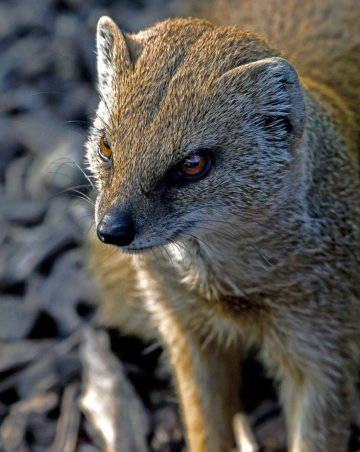 Mongoose by  Lawrence G Photos
