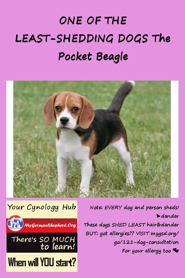 One Of The Least Hedding Dogs The Pocket Beagle Sick Dog Dogs