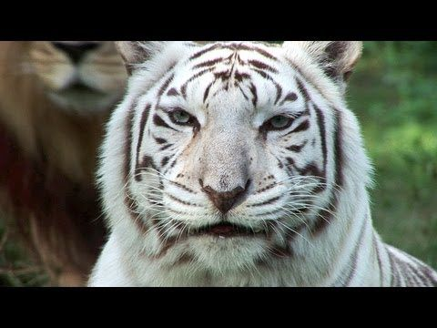 White Tigers - Cruelty NOT Conservation. If you love white tigers, or tigers in general, please watch this.