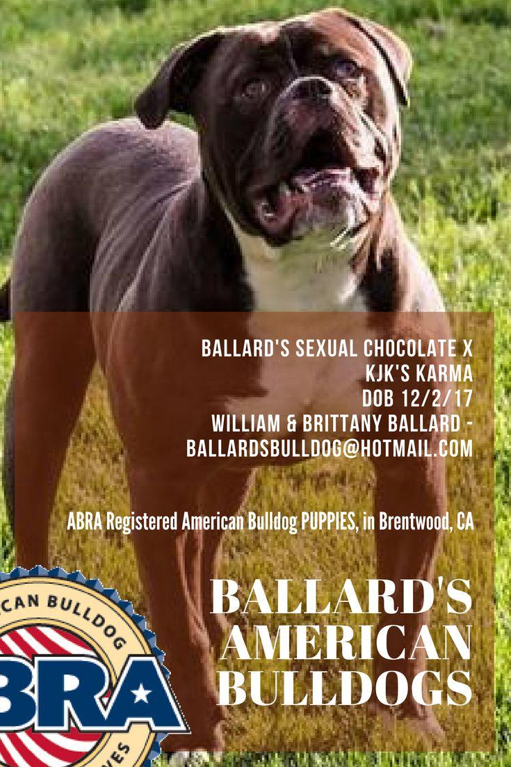 Help me congratulate Jake & Brittany on their new pups!  Ballard's American Bulldogs Ballard's Sexual Chocolate x KJK's Karma DOB 12/2/17 William & Brittany Ballard - ballardsbulldog@hotmail.com  ABRA Registered American Bulldog Puppies in Brentwood, CA, USA http://www.abra1st.com/american-bulldog-puppies-for-sale-in-brentwood-ca-usa/  www.abra1st.com/puppies-for-sale