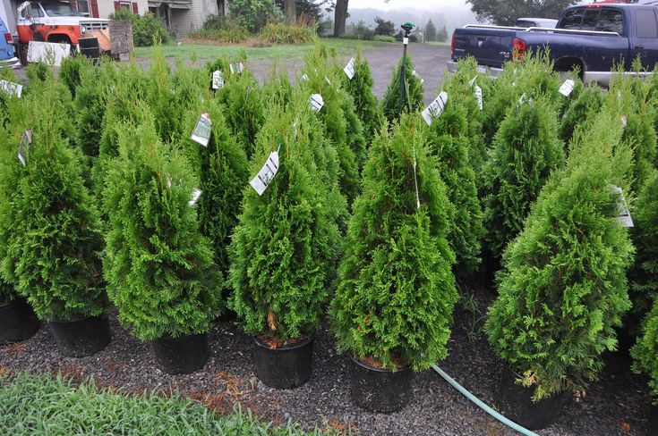 28 Best Landscaping With Arborvitae Images On Pinterest