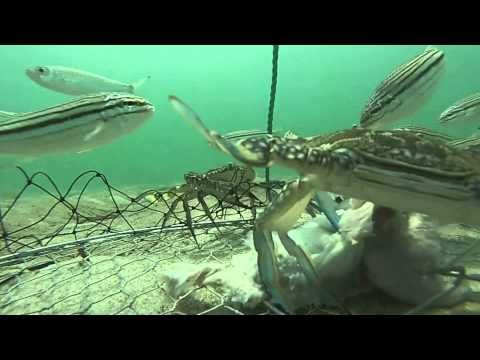"""Day in the life of a Crab net -- This is how one marine explorer summed up the ecosystem that has established itself below the ocean's surface: """"Darling, it's better down where it's wetter, take it from me."""""""