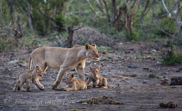 Matlapa and cubs at inkwe pan. Beautiful Lion cubs  Photo Credit: Gavin Tonkinson