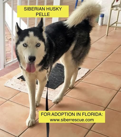 #Rescue #dogs #Siberian Huskies for #adoption in #FL only:  www.siberrescue.com
