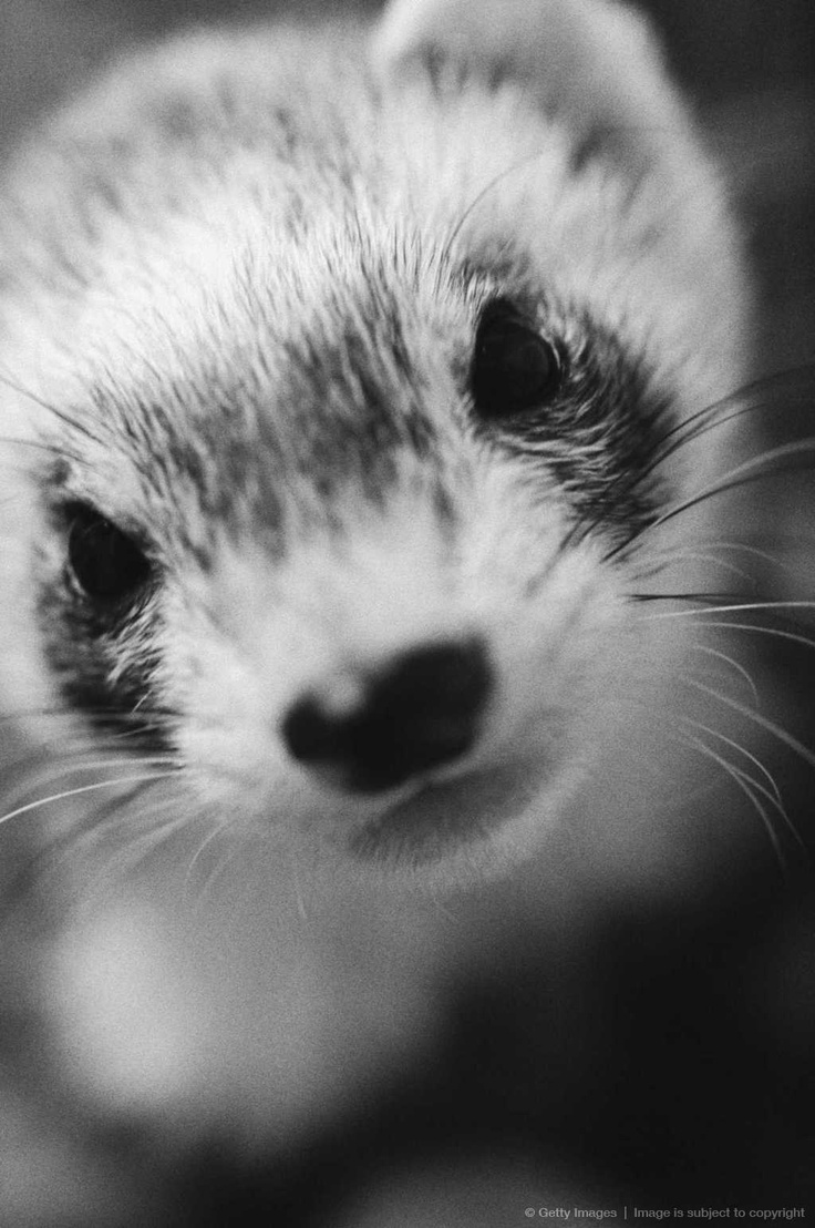 ferret face wallpaper background - photo #32
