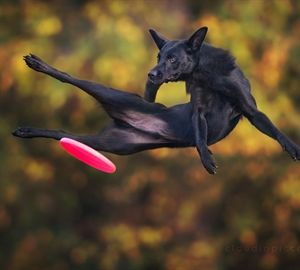 "Photographer captures dogs ""flying"" to catch frisbees."