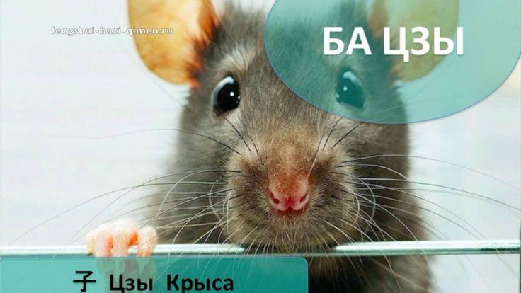 #34 子, Цзы, Крыса в Ба Цзы l Ба Цзы