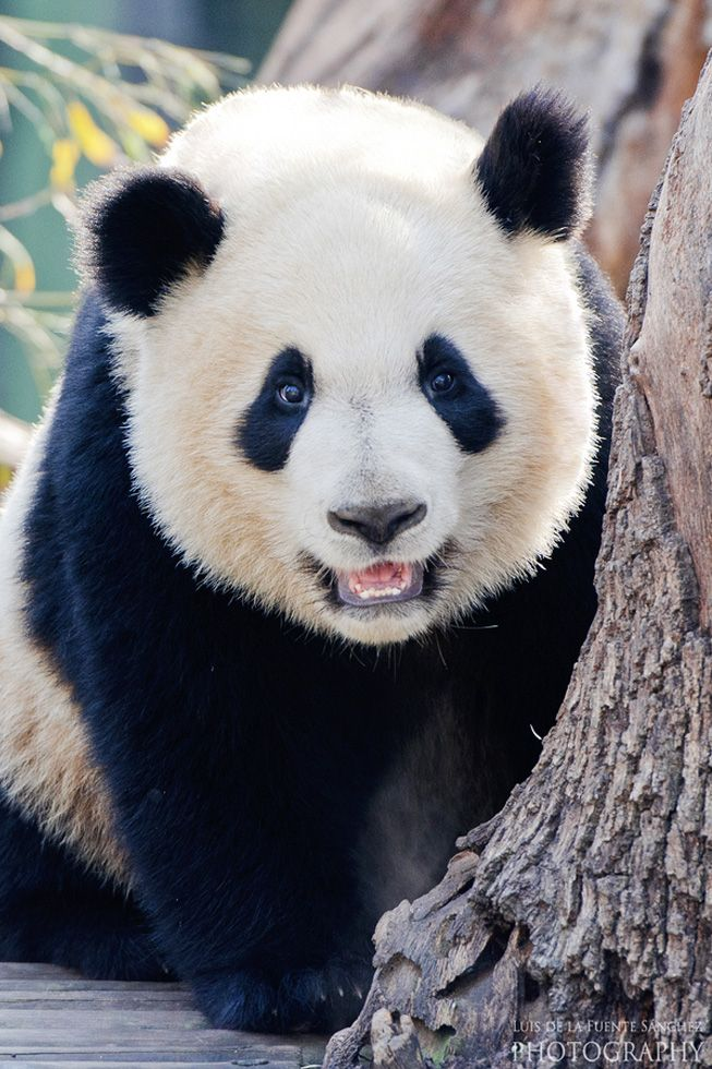 giant panda and wildlife conservation No one knew much about their behavior in the wild, they didn't reproduce well in zoos,  give $25 today and help support our giant panda conservation efforts.