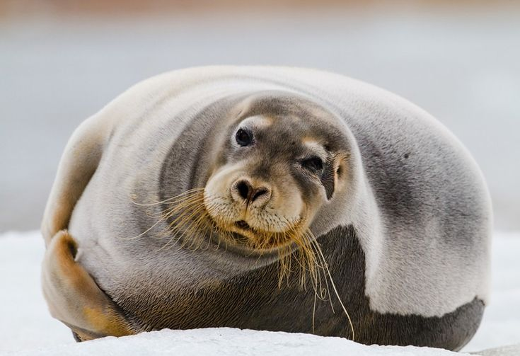 11 stunning images of Arctic wildlife - Matador Network.  Arctic's bearded Seal.