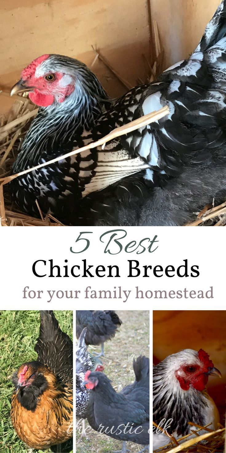 5 Best Chicken Breeds for Your Family Homestead - picking a laying breed can be daunting. Here are the best dual purpose, kid friendly, cold weather hardy, heritage breed chickens to add to your family homestead or back yard. #backyardchickens