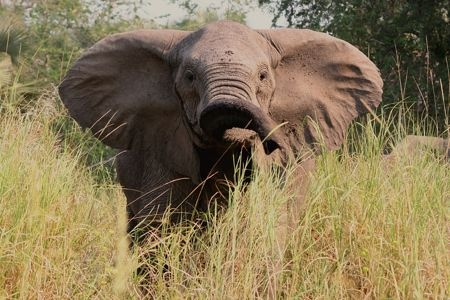 A huge elephant in Mozambique's Gorongosa National Park, flapping his ears open to look bigger (as if he needs help with that).   Photo by Jean-Paul Vermeulen
